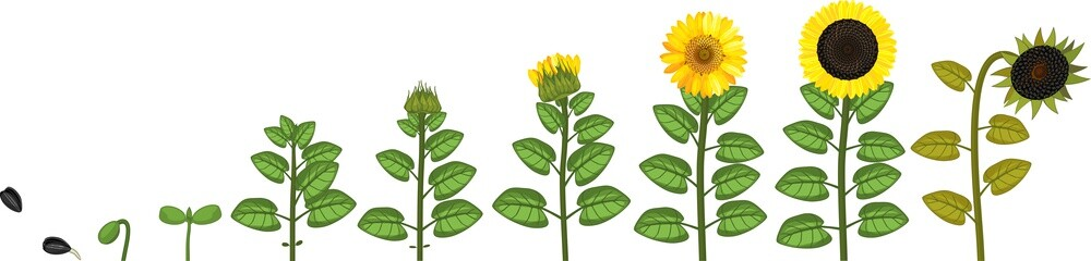 Sunflower life cycle. Growth stages from seeding to flowering and fruit-bearing plant