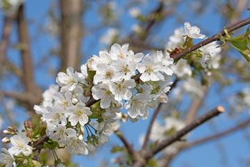 Kirschblüten, blühende Süßkirsche, Prunus avium