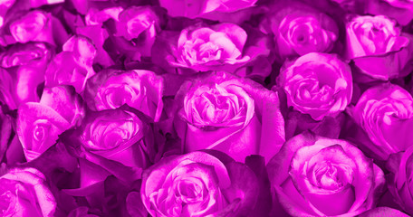 floral background. Ultra Violet roses background