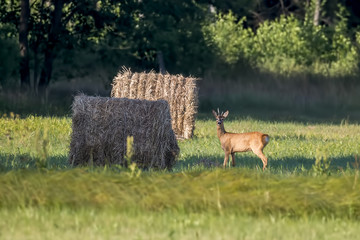 Doe, deer grazing on meadow. Wildlife scene from nature. Portrait of forest animal.