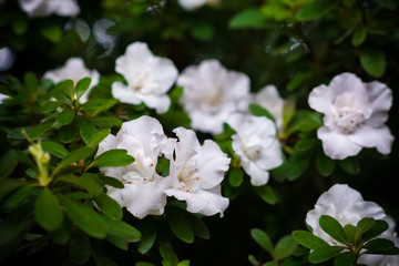 blossom of white azalea flower. Floral background