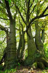 Riesige alte Eiche, sieben Stämme aus einer Wurzel