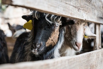 White and black goats stand behind fencing, their heads stick out only