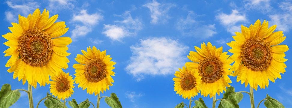 banner summertime blue sky clouds flower sunflower