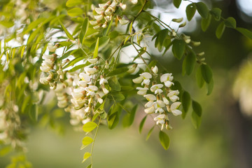 White acacia tree blooming flowers at spring.