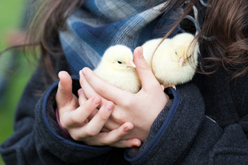 chickens, young chickens on the farm kept in hands