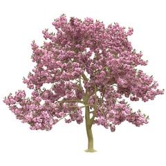 Pink sakura tree, cherry blossom isolated on white background