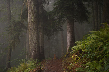 Picture of dark foggy forest with trees