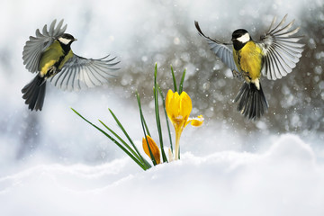 Wall Mural - festive postcard two little bird the Wren flies widely spread its wings and fluffed feathers over the yellow snowdrops out from under a brilliant blue snow