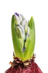 Hyacinth bulb closeup