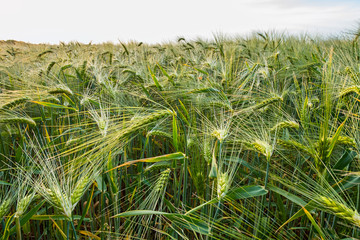Fotoväggar - entlang eines Getreidefeldes