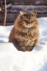 smiling fluffy siberian cat in deep snow