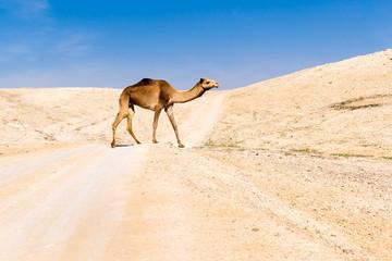 Camel crossing desert road pasturing, Dead sea, Israel.