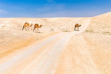 Wall Mural - Camels caravan crossing desert road pasturing, Dead sea, Israel.