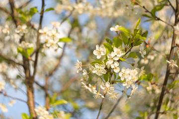 Flower cherry tree in the garden, spring bloom