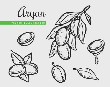 Argan vector drawing nut oil, fruit, berry, leaf, branch, plant.