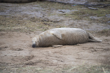 Grey Seals at Donna Nook.