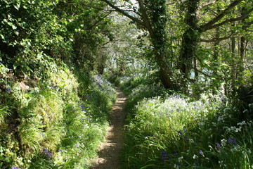 Bluebell wood on Guernsey