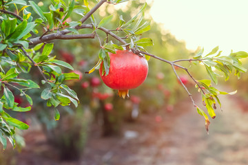 Ripe pomegranate fruit hanging on a tree branch in the garden. Sunset light. soft selective focus, space for text.