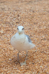 Big gull walking directly you by sand on the beach
