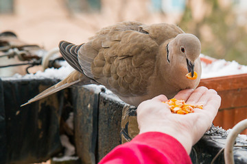 Turtle dove eat corns on the hand