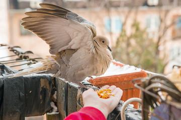 Turtle dove eat corns on the hand