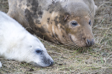 Grey Seal Pup & Mother at Donna Nook