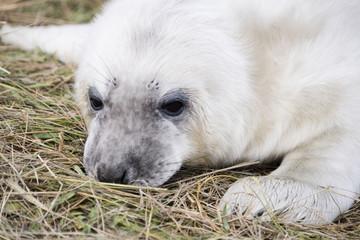 Grey Seal Pup at Donna Nook