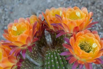 Volcanic Sunset Cactus