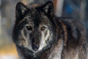 Dark Tundra Wolf Closeup