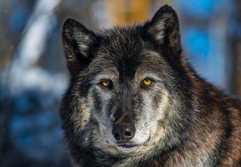 Dark Tundra Wolf Closeup
