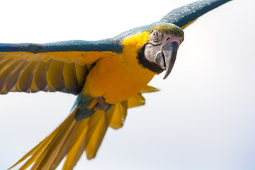 Blue and gold macaw parrot in flight. Beautiful close-up of tropical bird facing camera.