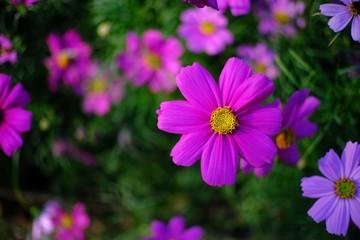 Beautiful nature Pinks flower  in nature garden.
