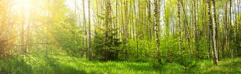 birch forest panorama in summer. Sun in the park Fototapete