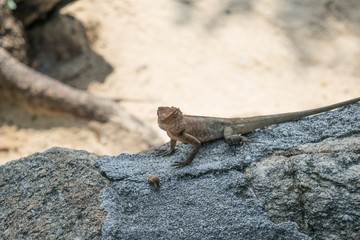 Asia yellow chameleon on the rock in nature background