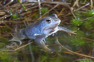 männlicher Moorfrosch (Rana arvalis) zur Paarungszeit - Moor frog