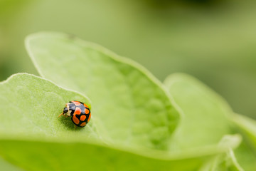 Orange Ladybug close up on a green leaf, Predator insect species for permaculture organic farming
