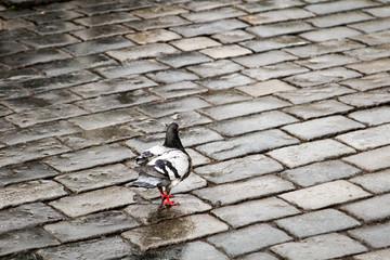 Taube, Tauben auf Straße