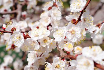 Весенние цветение вишни. Цветущая вишня. Весенние настроение. Вишневые деревья. Цветы вишни.