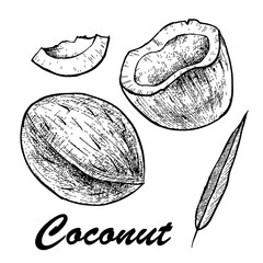 Vector illustration of a coconut.Coconut isolated on white background. Sketch vector tropical food illustration.