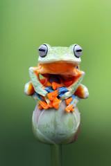 Tree frog, Javan tree frog, flying frog on bud, animal