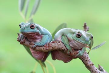 Tree frog, animal, dumpy frog on branch