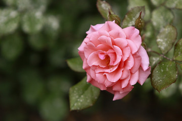 Pale pink rose in full bloom against blurred green foliage background