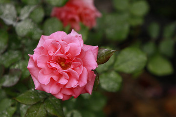 Pink rose in full bloom against green foliage background