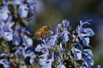 Bienenhonig biologisch