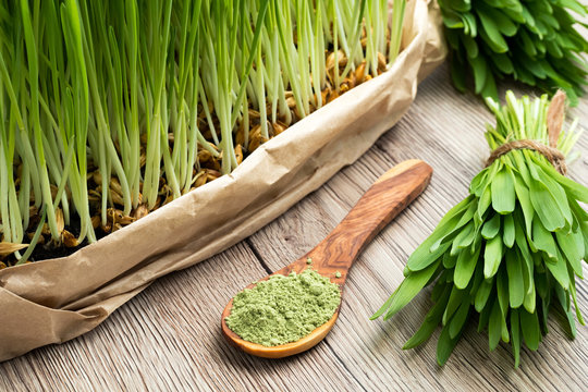 Freshly grown young barley grass with green barley grass powder