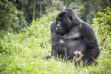 Adult mountain gorilla sitting in rich vegetation in the Bwindi Impenetrable National Park in Uganda