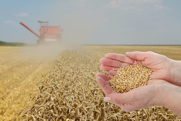 Agronomist or farmer  inspecting quality of wheat plant field during harvest, hands holding wheat