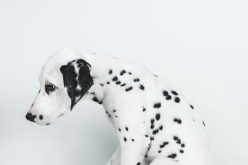 Sad dalmatian puppy