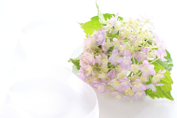 Purple hydrangea on white background with copy space